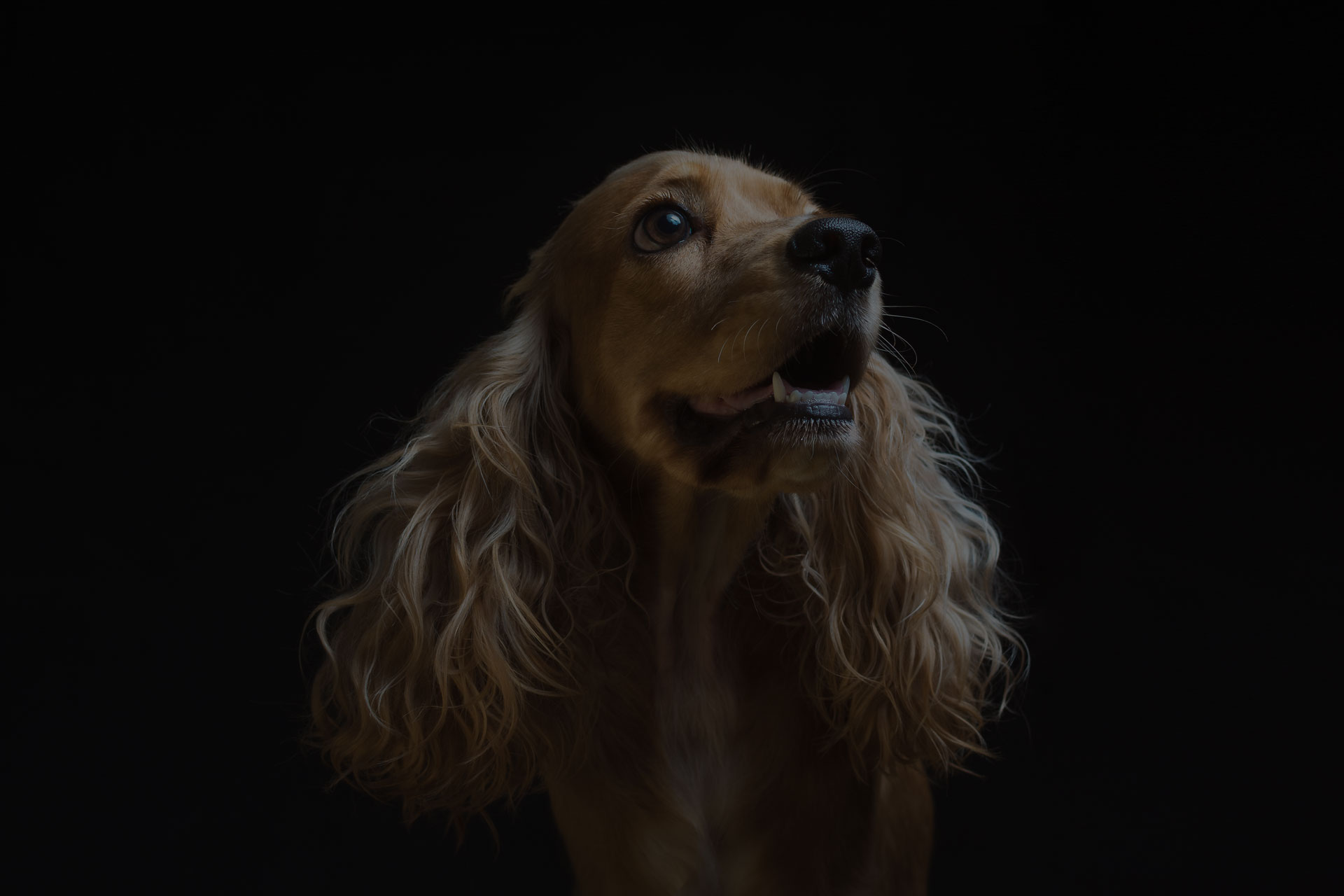 Puppy Cocker on a black background