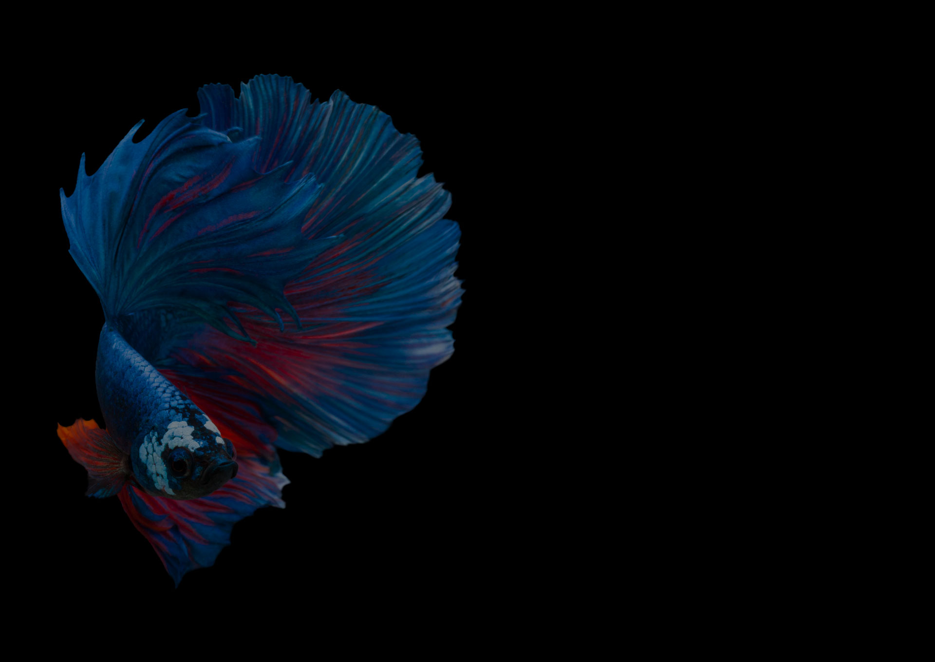 Multi color Siamese fighting fish(Rosetail),Blue fighting fish,Betta splendens,on black background