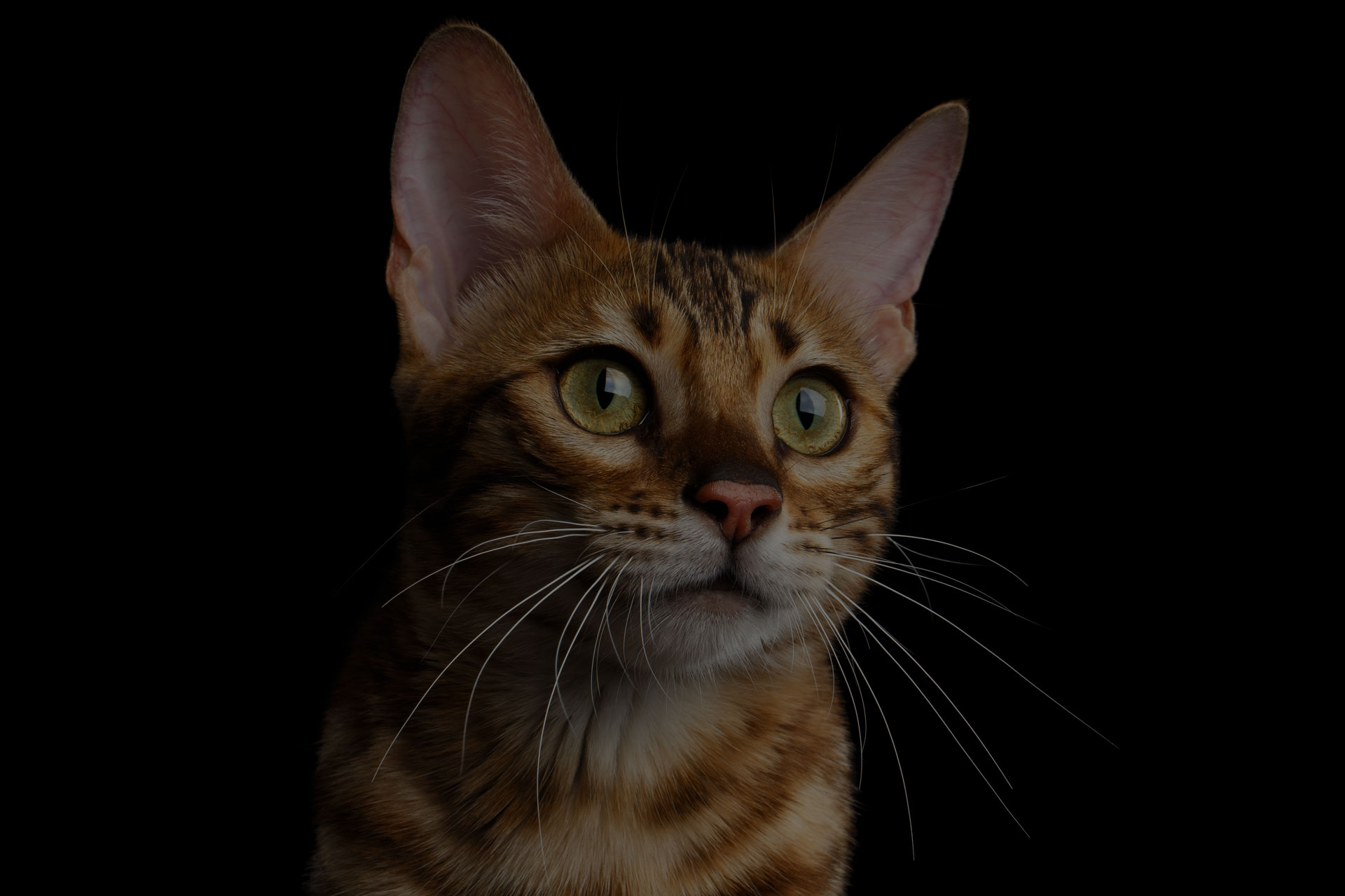Close-up Portrait of Adorable breed Bengal kitten in front view, Curious Looking in camera with beautiful eyes isolated on Black Background