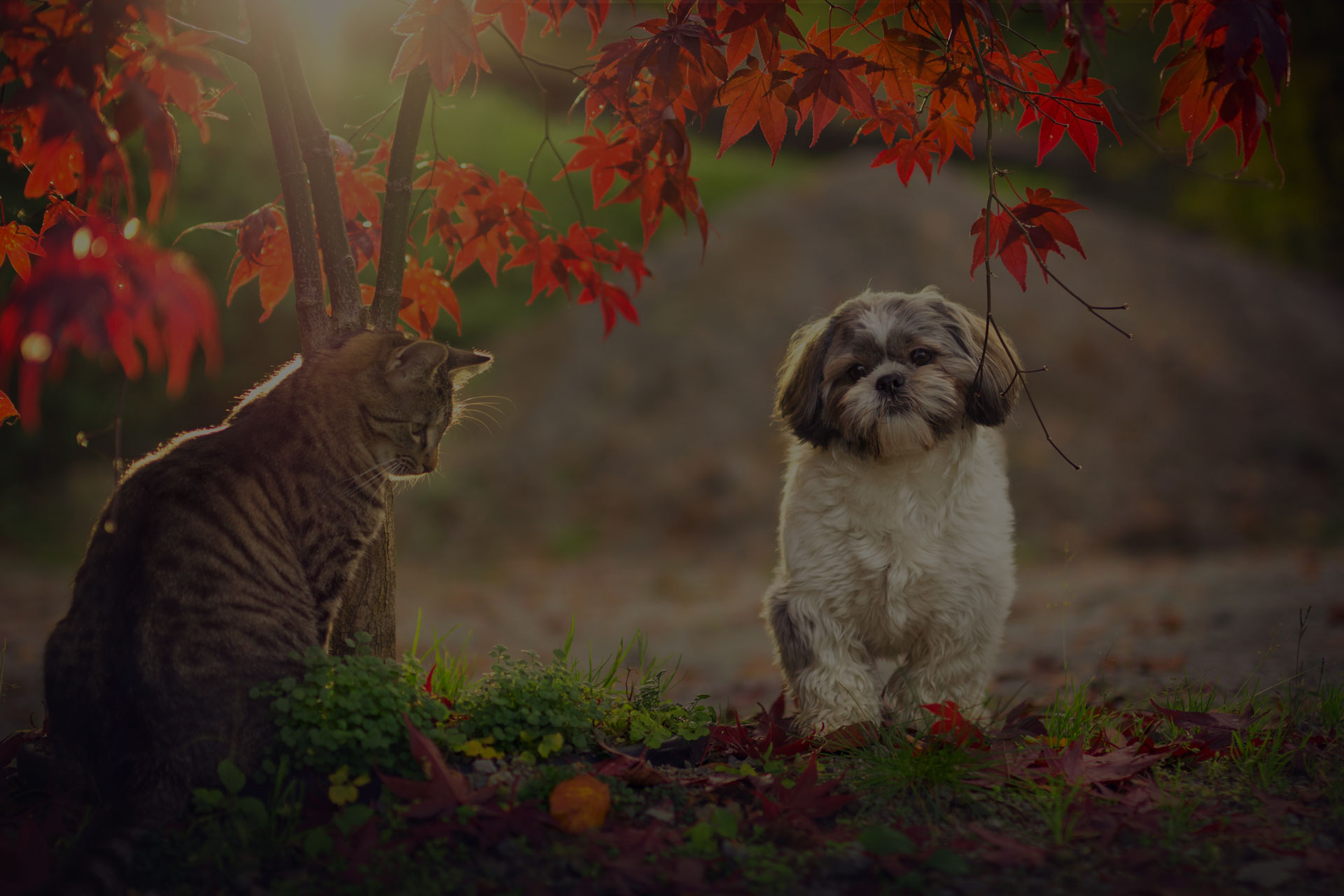 Shih tzu and cat in autumn