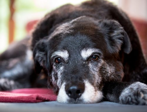 Arthritis in Pets: A Joint Affair